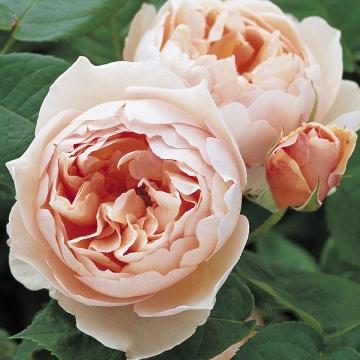 розы и свабьда