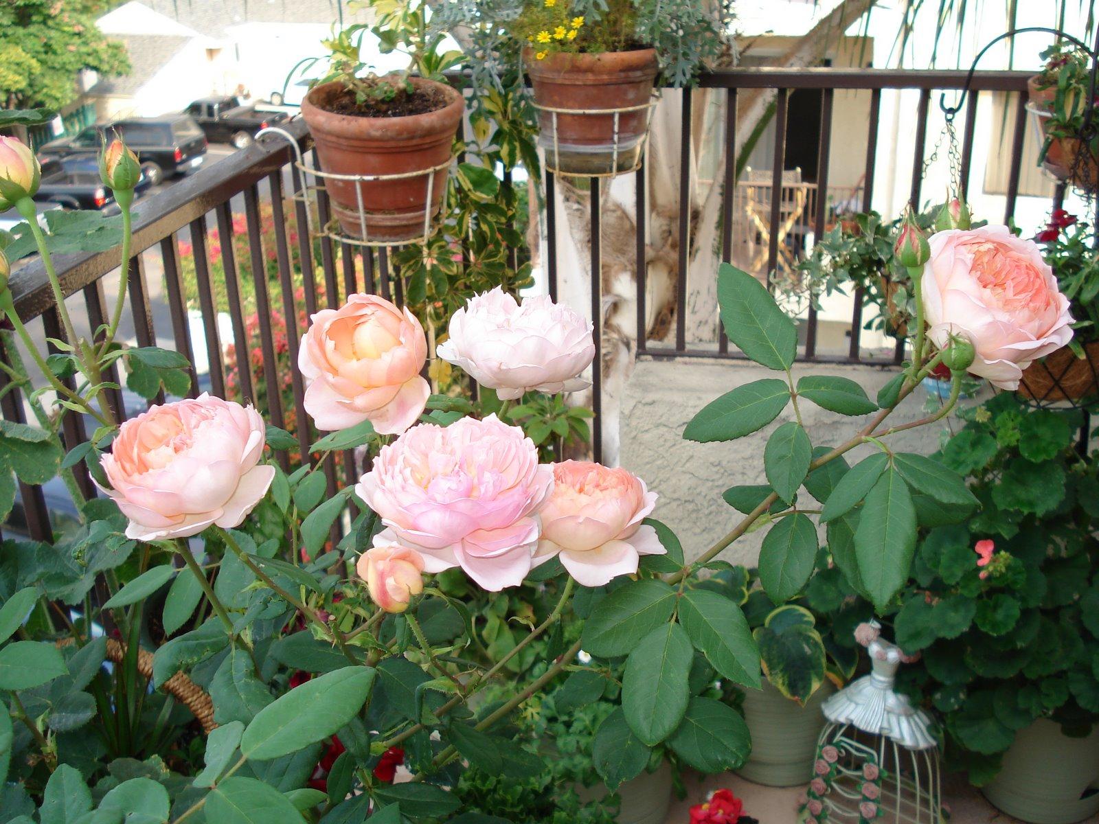 Выращивание розы на балконе 22