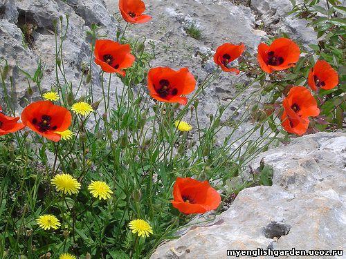 альпинарий, цветы