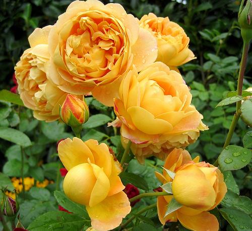 Роза - общепризнанная королева сада, радующая садоводов длительным цветением с начала лета и до осенних холодов.